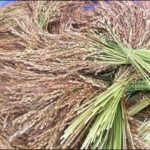 African Rice in the Hudson Valley
